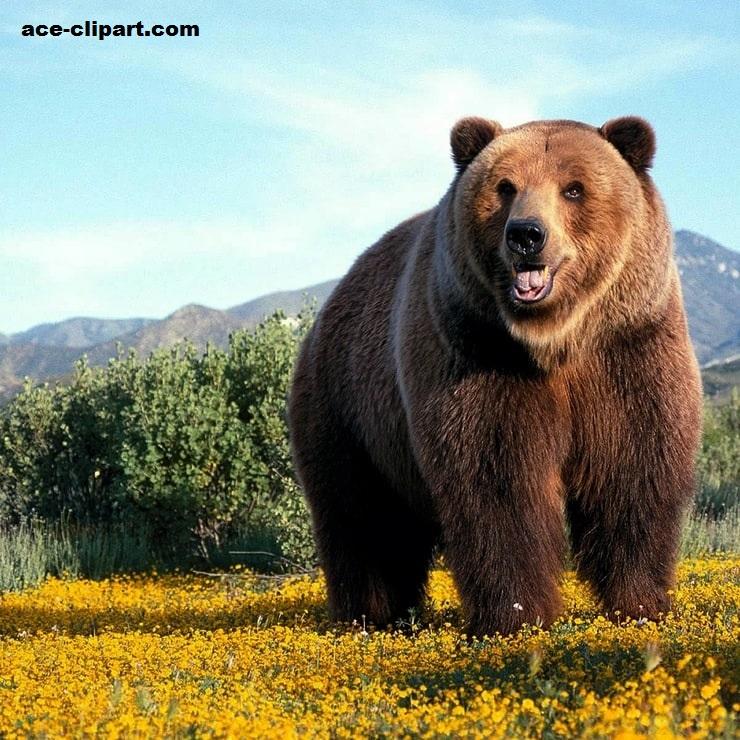 Beruang Grizzly, Beruang yang Pernah Terancam Punah