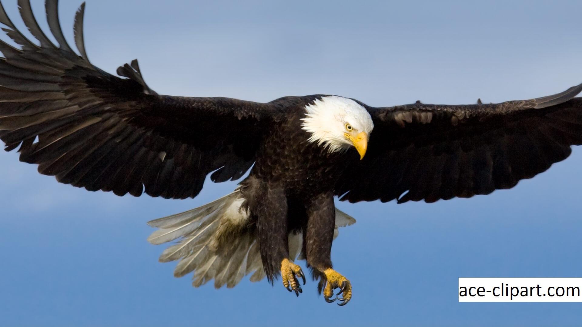 Habitat Tingkah Laku dan Reproduksi Bald Eagle